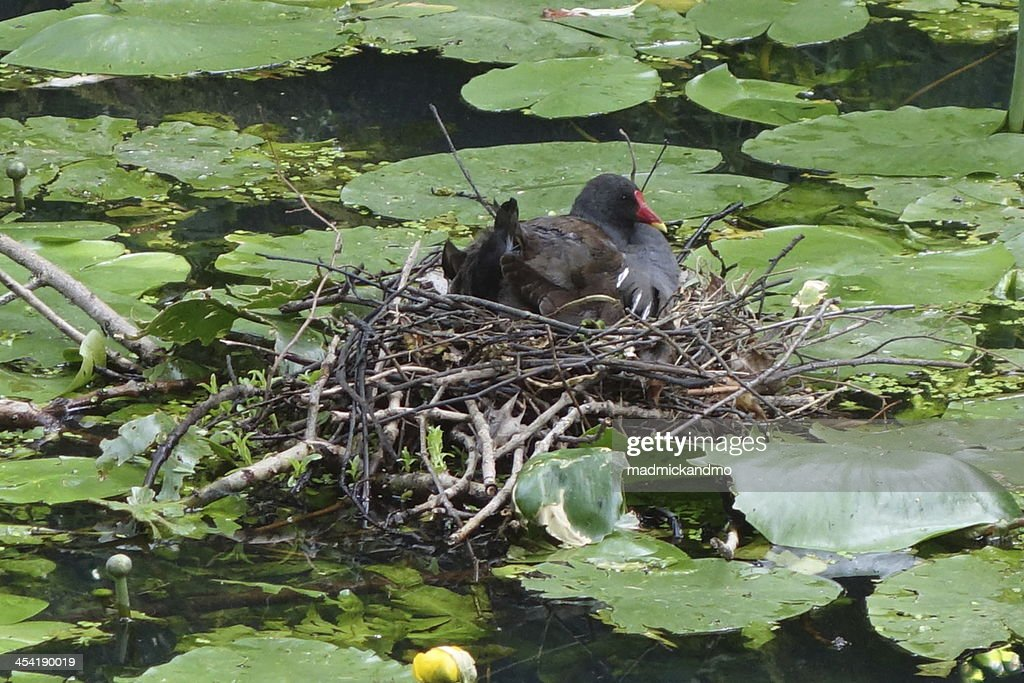 moorhen sitting on her nest : Stock Photo