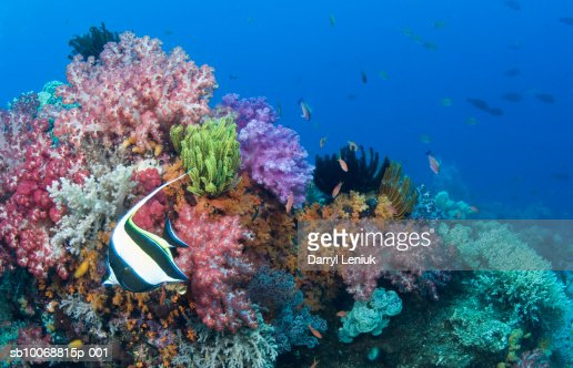 Moorish idol (Zanclus cornutus) fish on coral reef, underwater : Bildbanksbilder