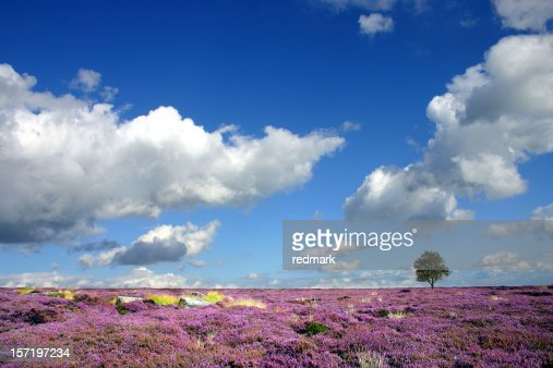 Moorland heather landscape in Derbyshire England