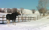 A moose along the fence of a private residence February 9 2001 in Pinedale Wyoming The moose are a common site in the rural nieghorhood Many of the...
