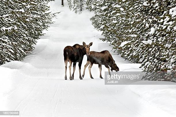 Moose and Calf wander down a snow covered logging trail