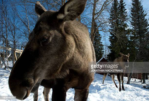 Moose are pictured at a moose farm in Duved Sweden on March 17 2013 AFP PHOTO / JONATHAN NACKSTRAND