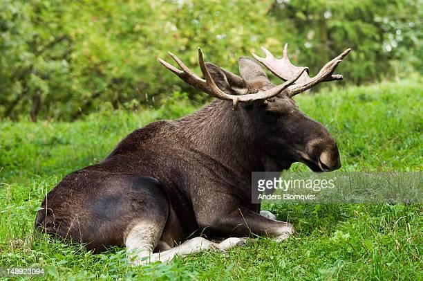Moose (Alces alces) at Skansen zoo on Djurgarden.