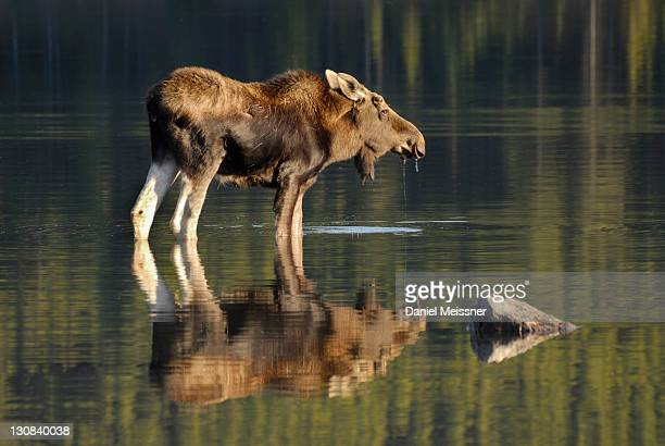 Moose (Alces alces), bull in the Maligne Lake, Jasper National Park, Alberta, Canada