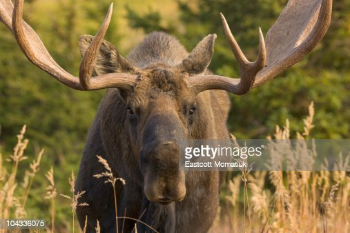 Moose bull with antlers,Chugach State Park, Alaska : Stock Photo
