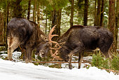 Two moose (Alces alces) bulls fighting in winter forest landscape beside a country road.
