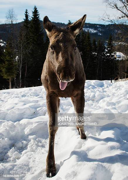 A moose calf runs through the snow at a moose farm in Duved Sweden on March 17 2013 AFP PHOTO / JONATHAN NACKSTRAND