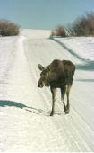 A moose calf walks the road of a Pinedale Wyoming nieghborhood February 9 2001 The moose are a common site in the rural nieghorhood Many of the...