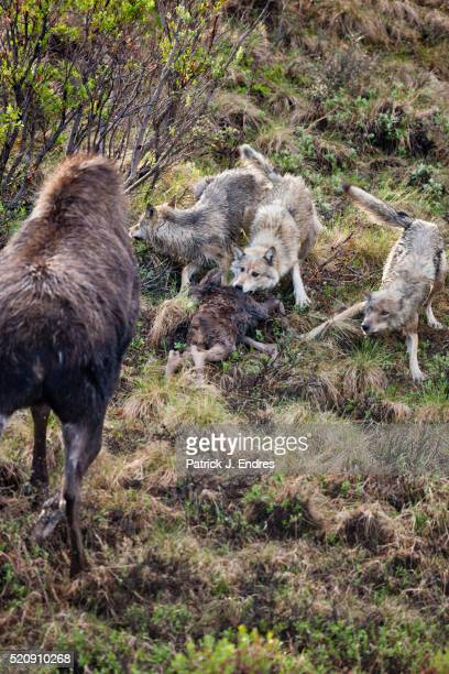 Moose chases wolves feeding on her calf
