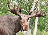 Moose close-up