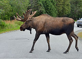 Huge bull moose crosses a street in Anchorage city park, Alaska.