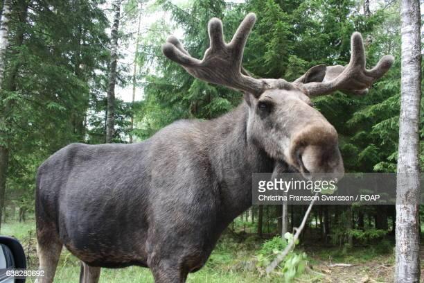 Moose eating leaves of a tree