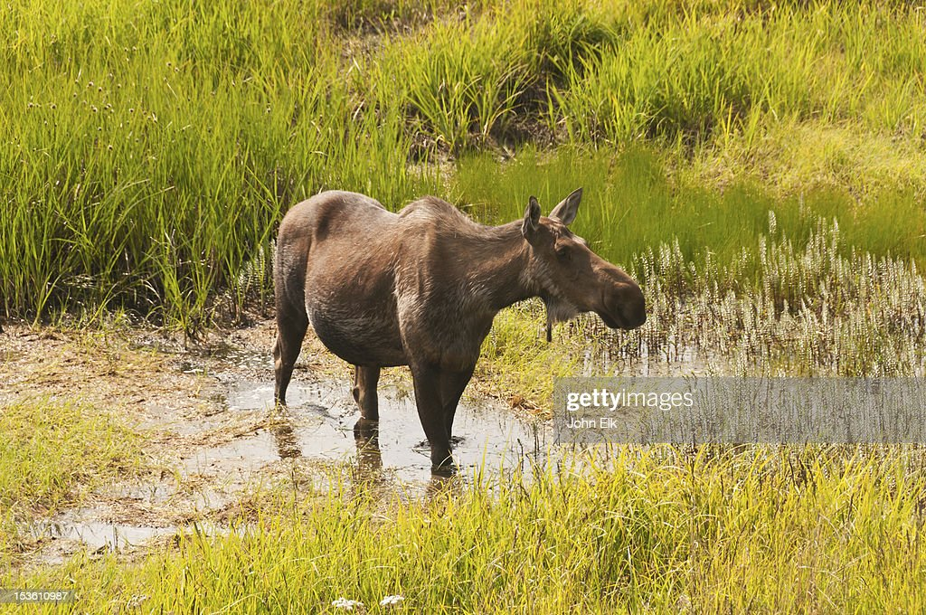Moose grazing : Stock Photo
