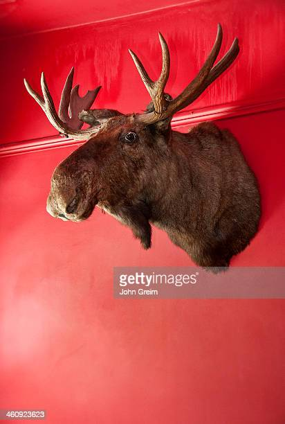 Moose head mounted on a wall