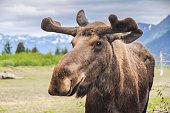 Moose in Alaska (USA)