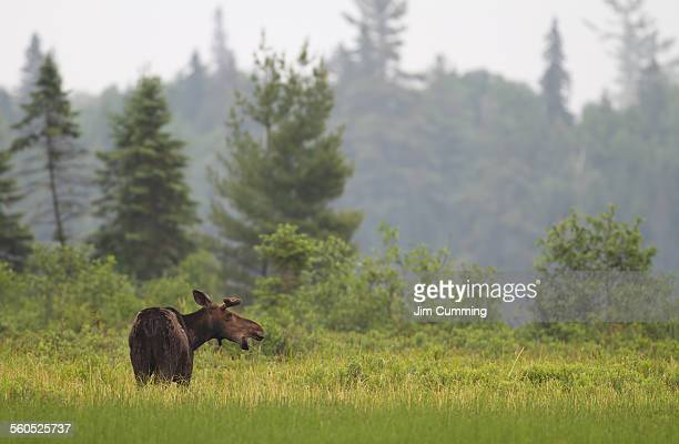 Moose in Algonquin marsh