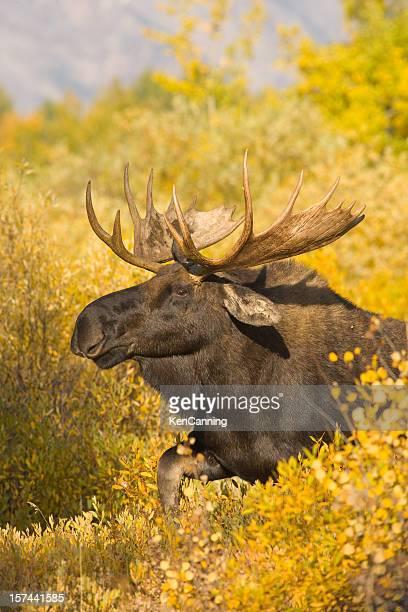 Moose in Autumn Foliage