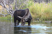 moose in Grand Teton National Park, Wyoming