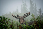 A bull moose stands in the willows on a misty morning