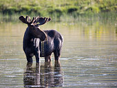 A young bull moose gives us the iconic moose in a pond pose.  Wasatch Mountains, Utah 2014