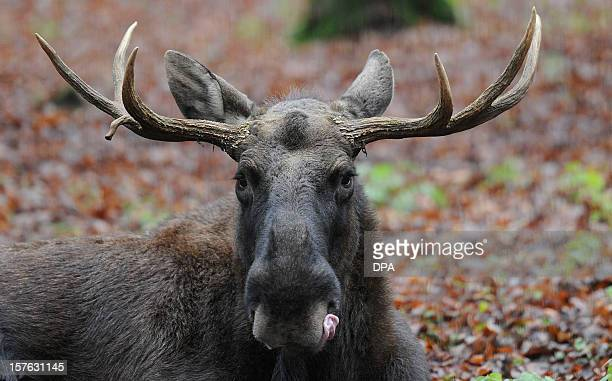 A moose licks its lips at 'Schwarze Berge' animal park south of Hamburg in Rosengarten on December 4 2012 Over a thousand animals live at the park...