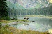 A Moose Morning
