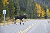 Bull moose crossing the highway in Colorado.