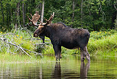 A moose stands along the shore of the Penobscot River in Maine.