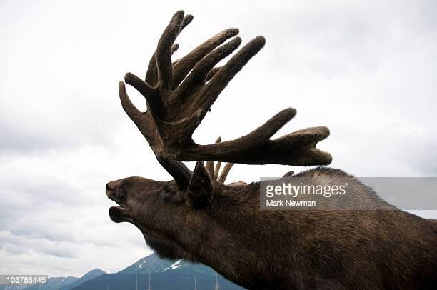 Moose (Alces alces).