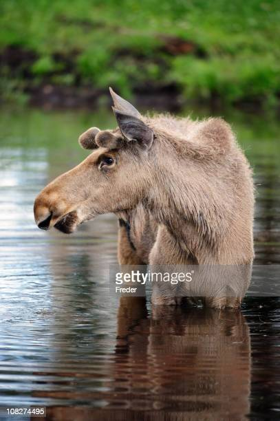 Lac moose