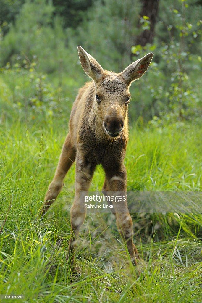 Moose : Stock Photo