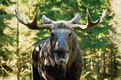 Moose bull (Alces alces) look straight at you with mean eyes. He is truely the king in this forest and will not take lightly on trespassers.