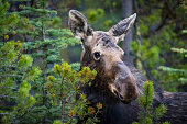 Wild Moose feeding on forest branches