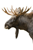 Moose (Alces alces), portrait isolated on white.