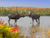 Moose Smooch - A cow and bull moose touch noses in a show of affection during the fall mating season.