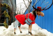 A moose statue is seen dressed up on the first day of the 2004 Sundance film festival on Main Street January 15 2004 in Park City Utah