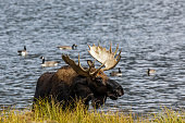 Bull Moose in a lake with Canadian Geese