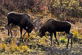 Two young Bull Moose (Alces alces) sparing Denali National Park, Alaska.