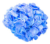 Mop head hydrangea flower isolated against white with clipping path