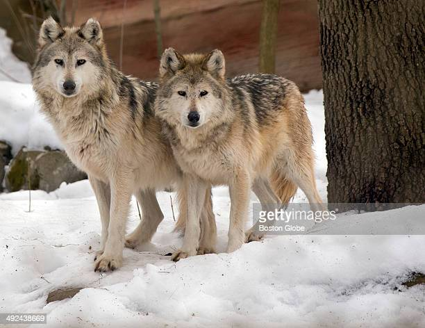 Mopaki left and Navajo right both 8year old Mexican Grey Wolves are not feeling the effects of the cold weather at the Stone Zoo on Monday February...