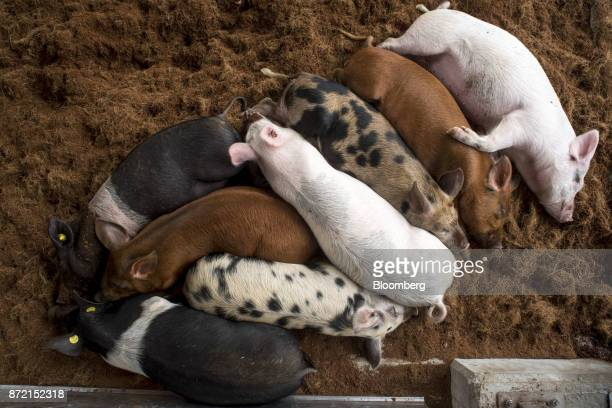 Mora Romangnola and Suino Grigio pigs rest in the pig barn at the FICO Eataly World AgriFood Park in Bologna Italy on Thursday Nov 9 2017 Eataly a...