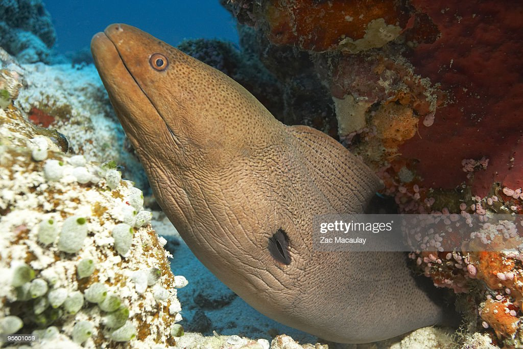Moray Eel in Coral : Stock Photo