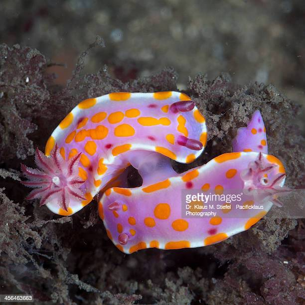 More Nudi Mating