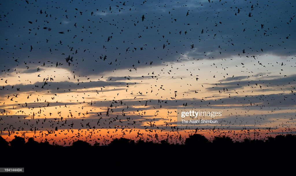 More than 10,000 sand martins are seen at dusk at Kirara Hama Shizen Kansatsu Park on October 13, 2012 in Yamaguchi, Japan. The migratory birds stay the park for a while on the way to Southeast Asia to pass winter after spending summer in Hokkaido, northern Japan to breed.