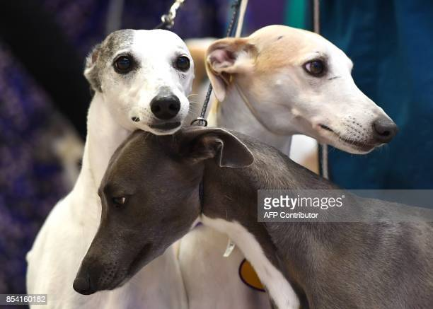 More than a dozen Whippets gather at Madison Square Garden on September 26 2017 to celebrate 125 years of their competition in the Annual Westminster...
