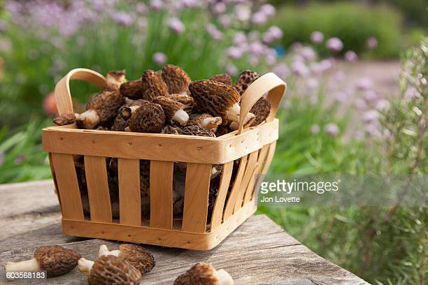 Morel Mushroom Harvest