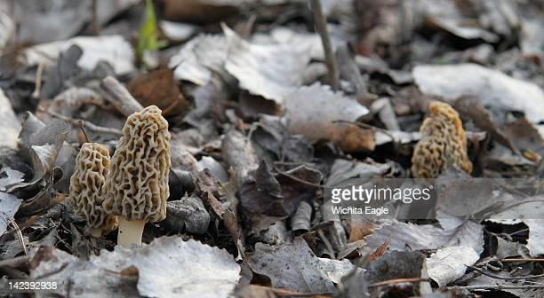 Morel mushrooms growing on the forest floor This spring's warm and wet conditions have made for a good year for mushroom hunters