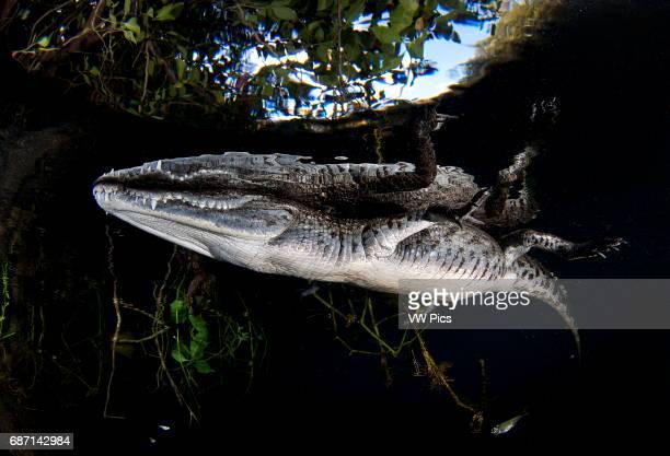 Moreleti Crocodile Crocodilus Moreleti carwash cenote Tulum Riviera maya Mexico