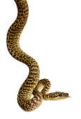Morelia spilota variegata, a subspecies of python, against white background.