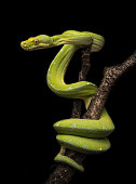 The green tree python (Morelia viridis) is a species of python native to New Guinea, islands in Indonesia, and Cape York Peninsula in Australia. Described by Hermann Schlegel in 1872, it was known for